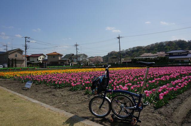 羽村チューリップ祭り