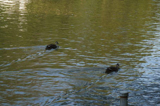 井の頭池の鴨