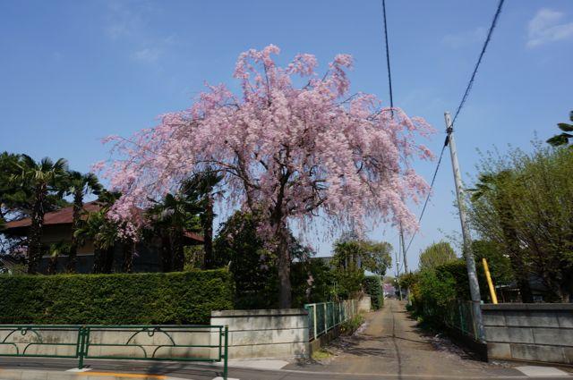 五日市街道沿いのしだれ桜1