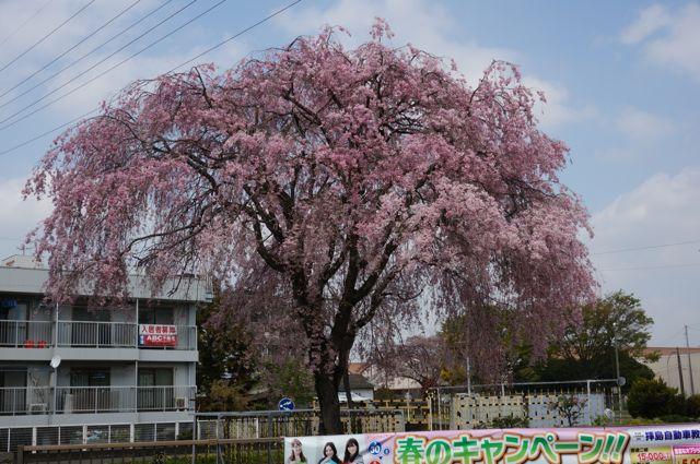 五日市街道のしだれ桜2