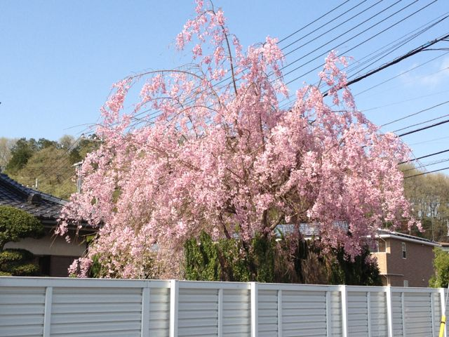 奥多摩街道沿いのしだれ桜
