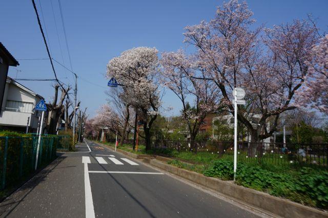玉川上水沿い上水桜通りの桜