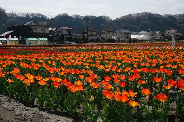 オレンジ色のチューリップ畑