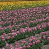 ピンクと黄色のチューリップ畑