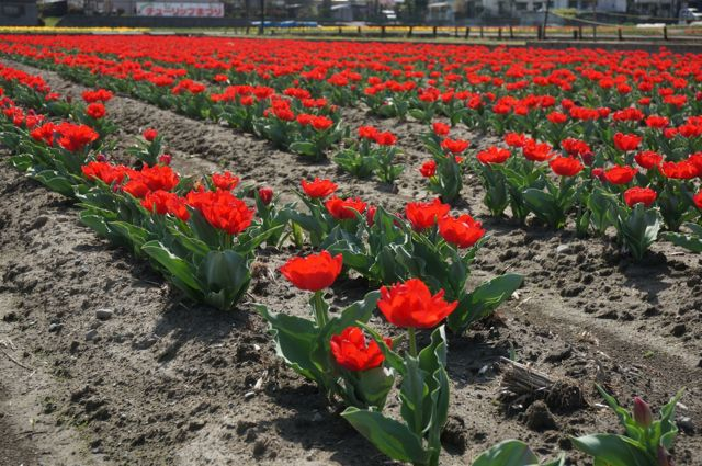 赤いチューリップ畑