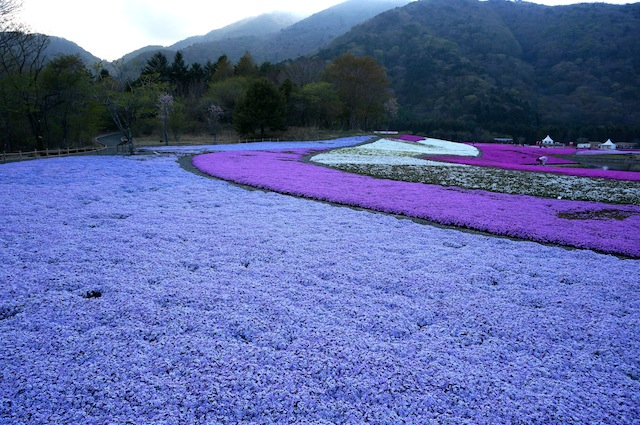 富士芝桜まつり15