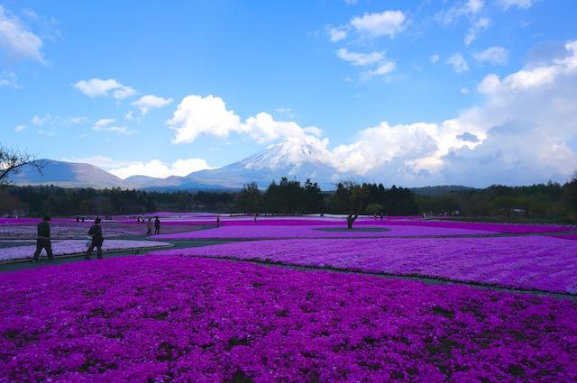 富士芝桜まつり7
