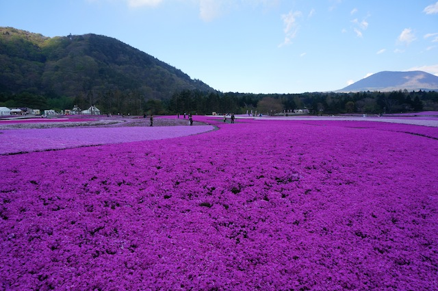 富士芝桜まつり8