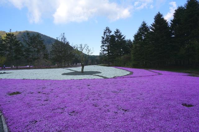 富士芝桜まつり9