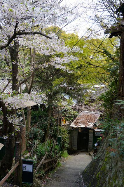 猫の細道と桜
