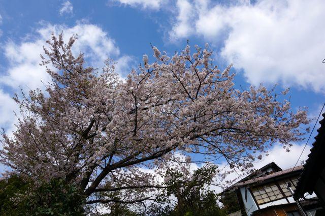 文学公園の桜