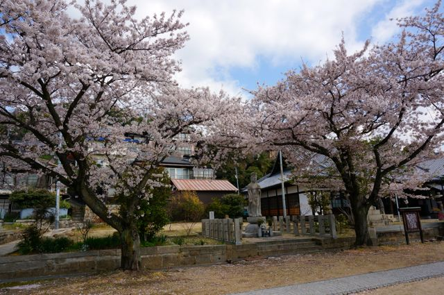 宝土寺の桜