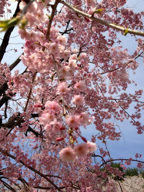 千垂の桜アップ
