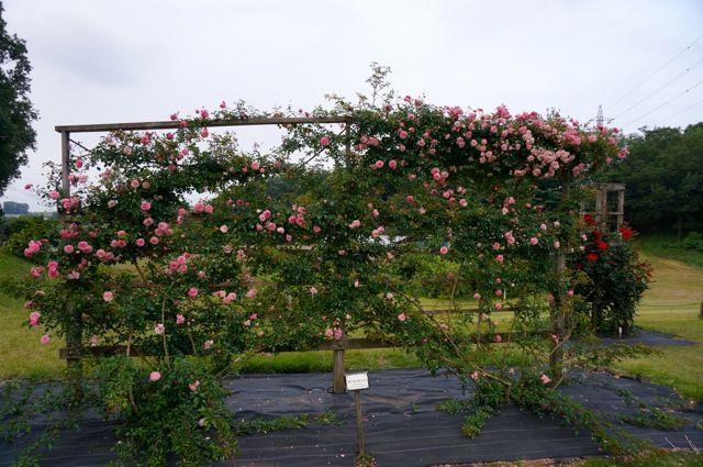 フェンスに咲くバラ
