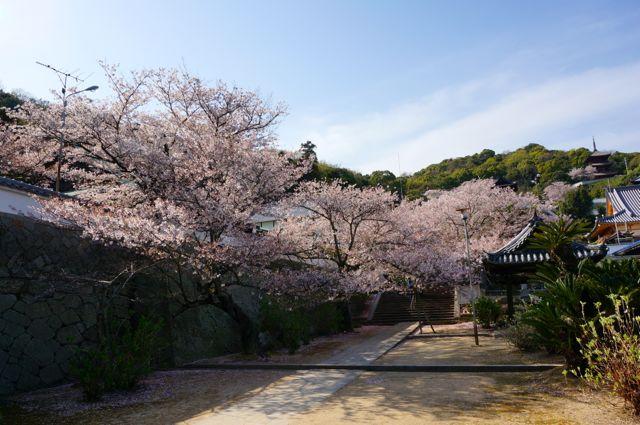 西國寺境内の桜