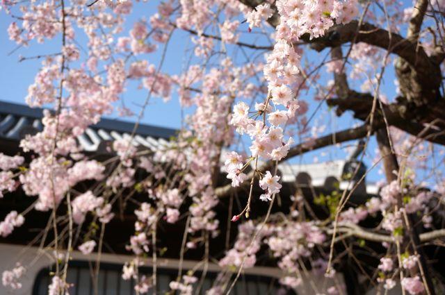 西國寺持仏堂前のしだれ桜