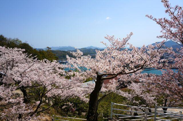千光寺公園の桜1