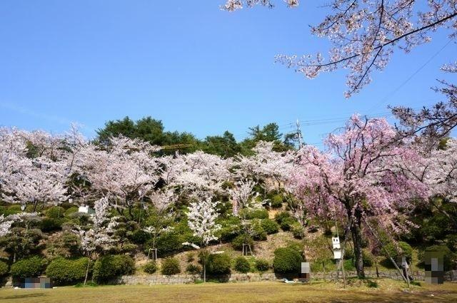 千光寺公園の桜2