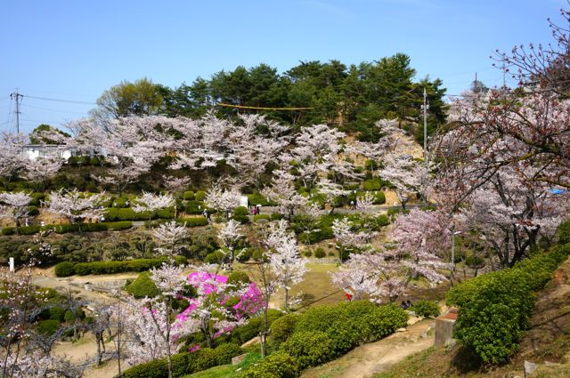 千光寺公園の桜3