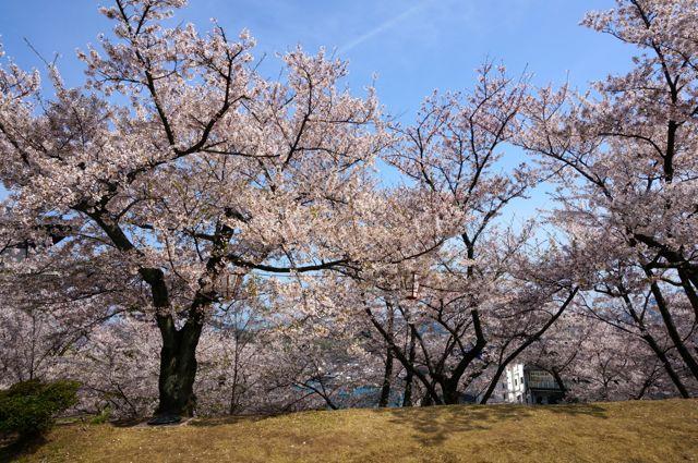 千光寺公園の桜4