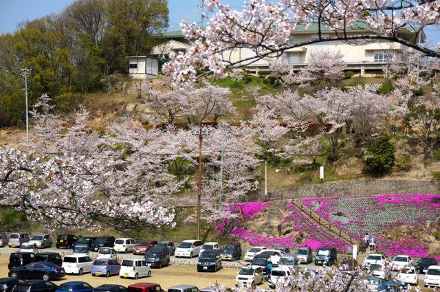 千光寺公園駐車場の桜