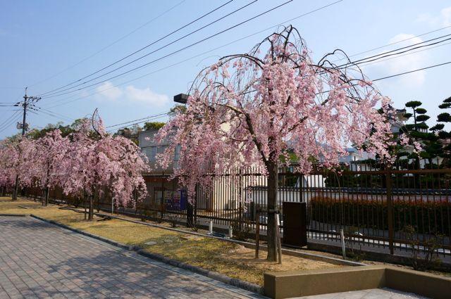 耕三寺金剛館前のしだれ桜
