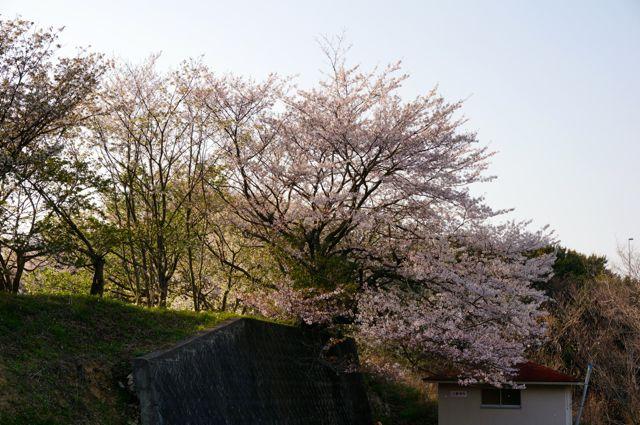 伯方島の桜