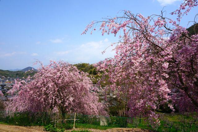 因島で見かけたしだれ桜