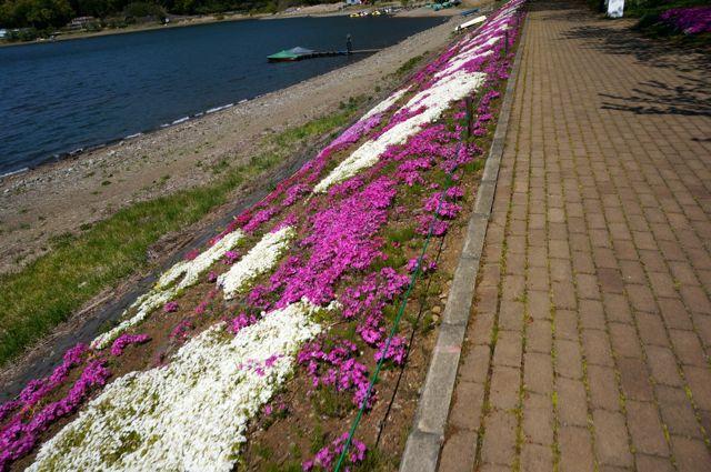 河口湖湖畔の芝桜