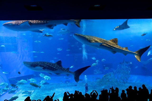 大水槽「黒潮の海」を泳ぐジンベエザメ