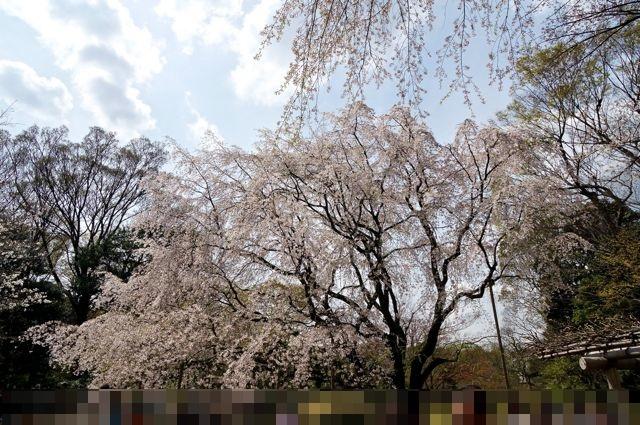 六義園のしだれ桜1