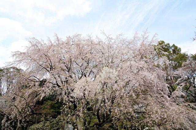 六義園のしだれ桜2