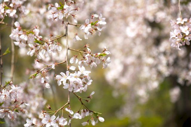 六義園のしだれ桜アップ