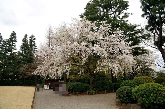 旧古河庭園・しだれ桜