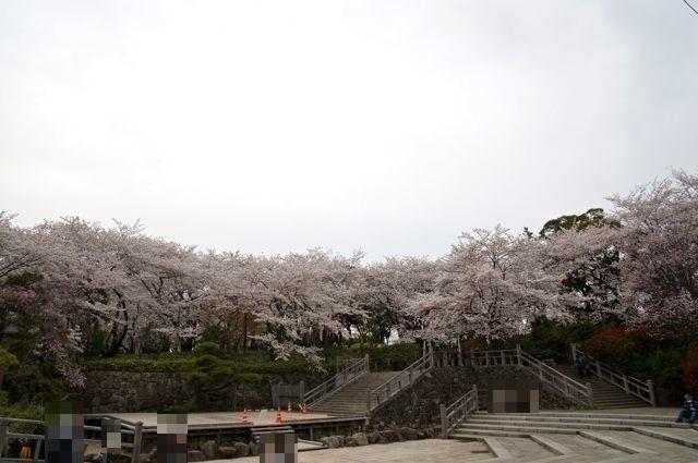 桜が満開の飛鳥山公園野外舞台