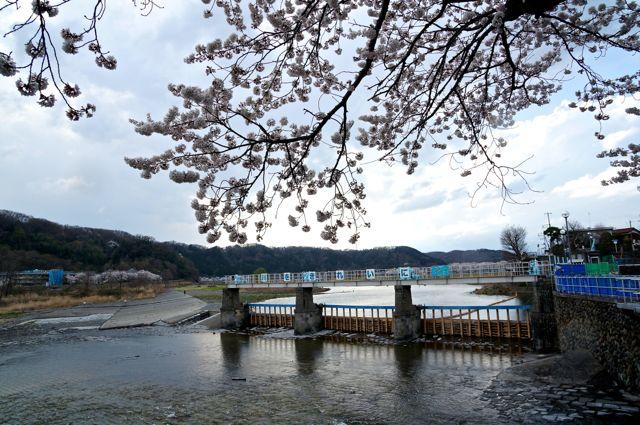 羽村堰と桜
