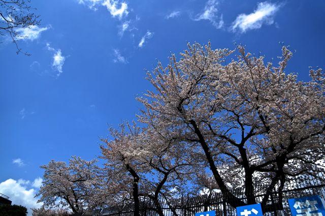 境浄水場の桜