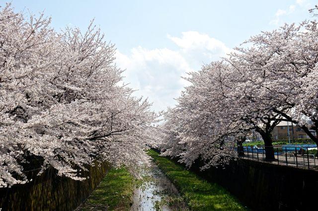 残堀川の桜