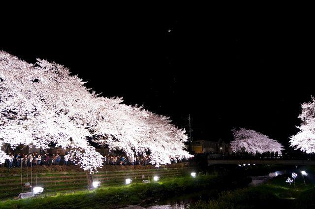 野川桜ライトアップ2014 1