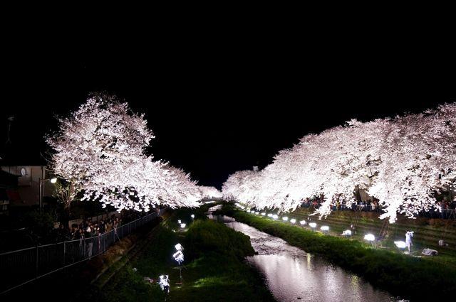 野川桜ライトアップ2014 2