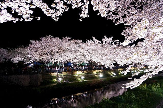 野川桜ライトアップ2014 3