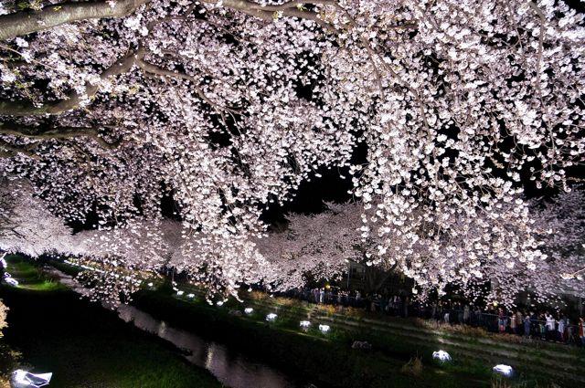 野川桜ライトアップ2014 4